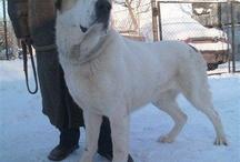 Ovcharka (my dog)