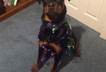 Dexter / Pictures of my cheeky Rottweiler Dexter