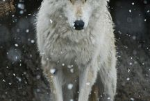 Wolves / by Heather B
