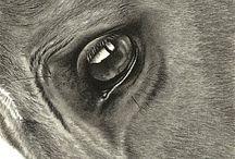 Cavalo - Olhos