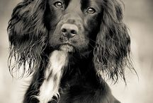 working cocker spaniel <3