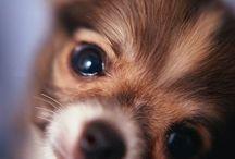 Chihuahua / Indubbiamente uno dei cani più piccoli, il chiuaua è comunque resistente e piuttosto indipendente. Generalmente si lega moltissimo a proprio padrone ed è perfetto per un appartamento anche di piccole dimensioni!
