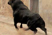 Bull_