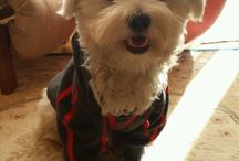 Edgar Maltese dog