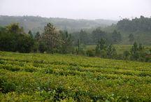 Les plantation de maté au Brésil / Retrouver des photos des plantations de nos partenaires producteurs