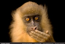 Monkeys, Lemur, Apes / Old world & new...maybe we love them because they are us in a different form / by Kim Brophy