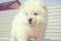 Chow-chow d'amour