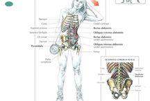 Músculo mudlo