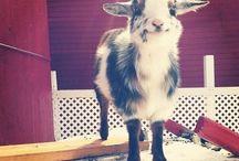 Goats! <3