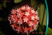 my flowers / Kukkia