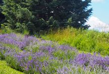 Places to Visit / Weir's Lane is a farm with rolling hills. We grow lavender native wildflowers and keep bees. We sell lavender bee products made at the farm and locally.
