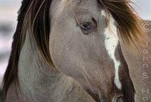 Hevosia