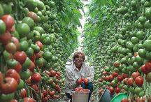 томаты- секрет урожая