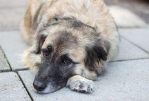 Zausel Paul / Bürohund Paul ist von Beruf Zausel und entstammt polnischem Landstraßenadel. Das Herz seiner Halter in Hamburg erfreut er seit 2015. Als Hütehundmischling ist er lieber mittendrin statt nur dabei.