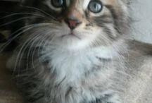 Kitten maine coon 18/06/2015 / IT* Felisofia Wellington & IT*Forestknight's Zara born:18/06/2015