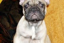 Barney French Bulldog