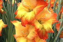 Gladiolus {a tribute to my grandpa}