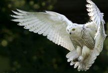 Сова owl