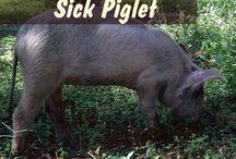 Pigs / Bacon!