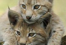 My aninal totem love lynx <3