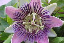 golgotavirag_Passion flower