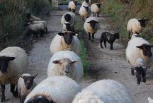 mouton :3
