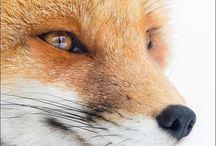 LISKI/FOXES