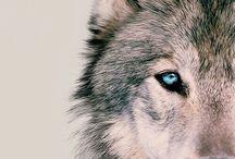 My favourit animal:WOLF