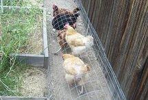 cara ternak ayam