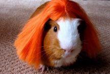 Guinea Pigs in Wigs
