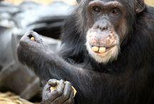 Favorite Chimps