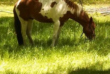 Paint horses / Dedicated to beautiful paint horses / by Providence Hill Farm