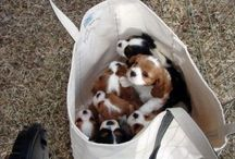 Beagles--Dogs and Puppies / Beagle dogs of all kinds. Mans best friend,
