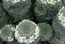 Alpin blomster