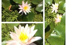 Water Lily / Water-pool. Green