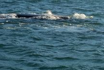 Whale watching / Whale festival in Cape Town