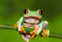ANIMAL • Frog
