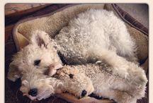 Foxterrier Wire Hair / Dog