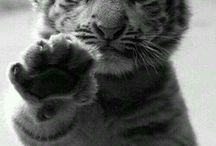 Tigres e as suas crias ❤️