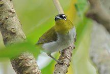 Spesies Burung Pleci Menghilang