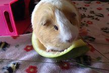 Ginger darling / 2 weeks before he passed away:( He was one sweet guinea pig!!!