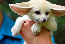 ANIMALS // Fennec Fox - Foxes