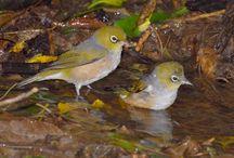 10 Manfaat Air Es untuk Burung Pleci