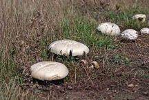 Edible Mushrooms North America
