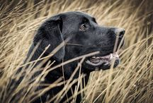 Brock & Buddy / Brock is a one of a kind Labrador. He loves to fish and sleep!