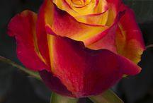 Rosas no meu quintal