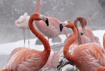 Beautiful Flamingoes
