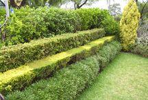 зеленая изгородь