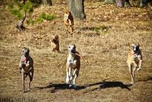 My photos of whippets