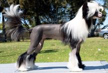 Chinese Crested Show Dogs / Pictures of my showdogs